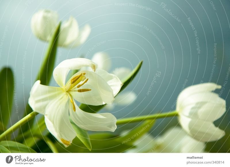 Tulpe Himmel Natur blau schön weiß Pflanze kalt Frühling Blüte natürlich außergewöhnlich einfach Blühend rein zart Blumenstrauß