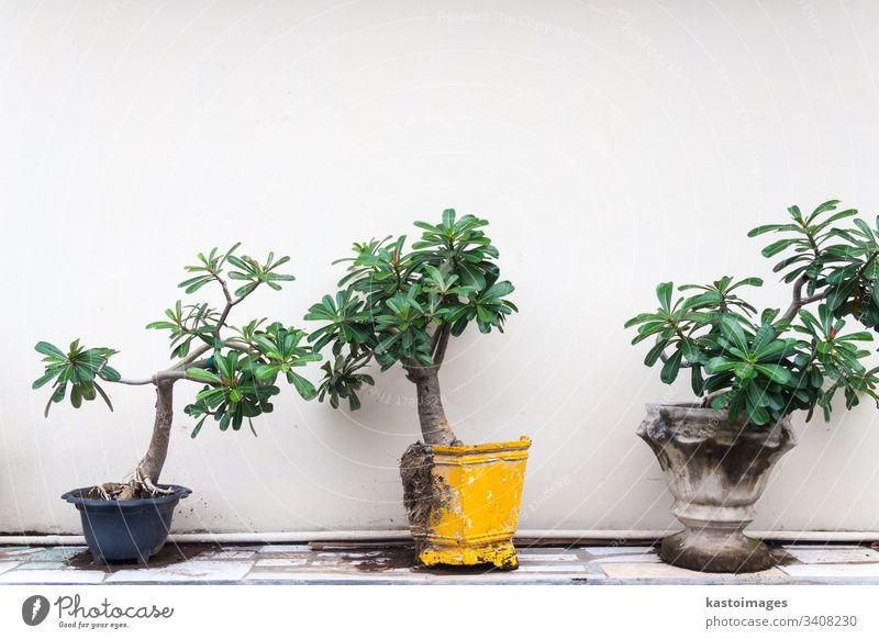 Topfpflanzen vor weißer Wand. Pflanze Bonsai grün Blatt Wurzeln Kassen Stock Textfreiraum oben gelb blau