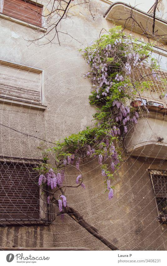 Glyzinienpflanze mit violetten Blüten, die an ein Haus gelehnt ist Pflanze Blume grün purpur Natur schön Wand Wände Fenster Sommer Außenaufnahme kriechend