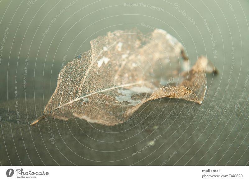 Blattgerippe welkes Blatt Vergänglichkeit Natur Herbst welken trocken Einsamkeit Ende Tod Trauer Traurigkeit Blattadern Verfall Vergangenheit ästhetisch