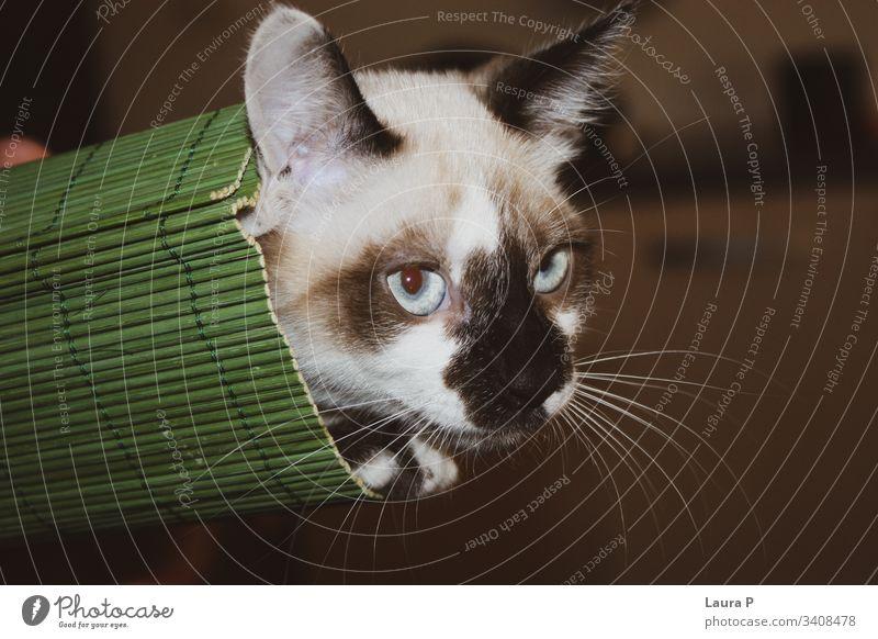 Nahaufnahme einer blauäugigen Katze in einer grünen Mattenrolle Porträt abschließen heimisch Tier niedlich schön blaue Augen Haustier Tiergesicht Tierjunges