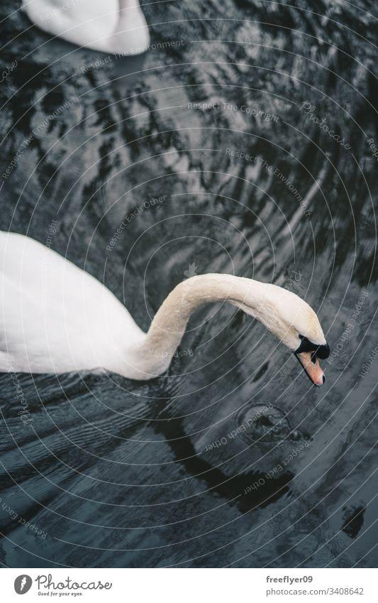 Weißer Schwan schwimmt auf einem See weiß Schwimmsport Wasser Wellen Windstille unverdorben Dunst Vogel Eleganz Anmut Licht friedlich Morgen schön Reinheit