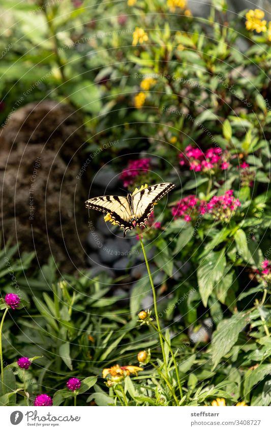 Anis-Schwalbenschwanz-Schmetterling Papilio zelicaon sitzt auf einer Blume Schwalbenschwanz-Falterfisch Anis-Schwalbenschwanz-Falter helle Flügel Garten Nektar