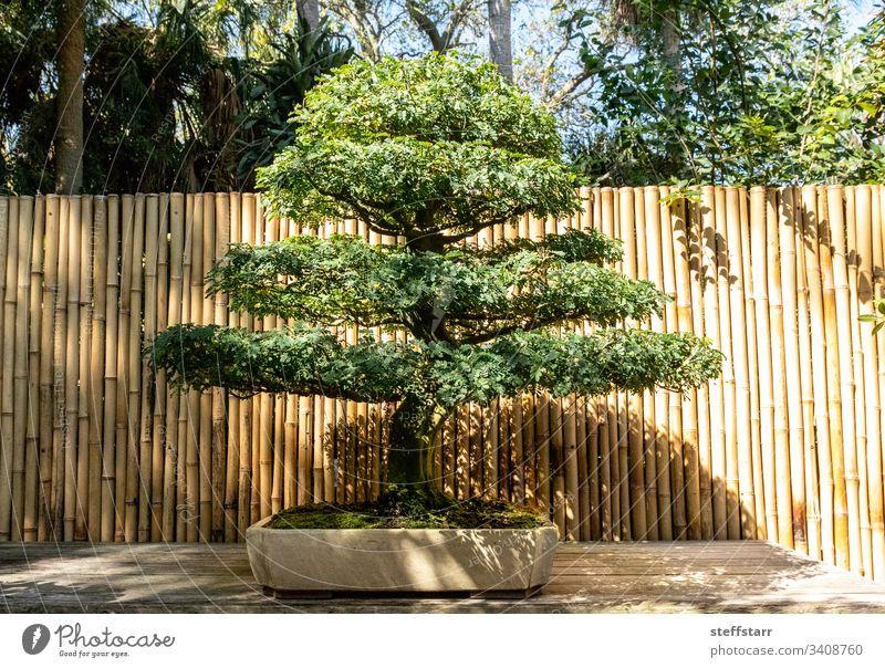Brasilianischer Regenbaum Chloroleucon tortum Bonsai-Baum Miniatur Natur Garten penibel Geduld Gartenbau Pflanze
