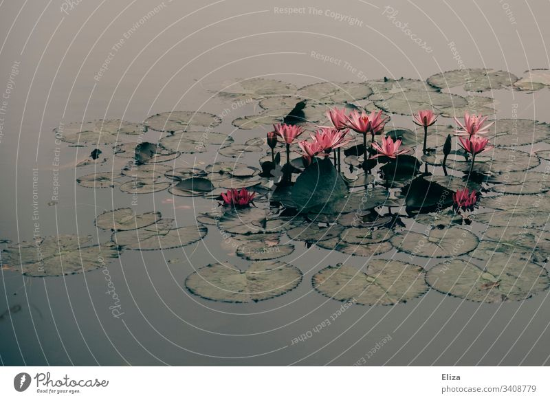 Farbenfrohe Seerosen umringt von Seerosenblättern auf dem Wasser in grün grauer Farbgebung Teich Fluss asiatisch Asien rosa rot pink Pflanze Farbfoto Blüte