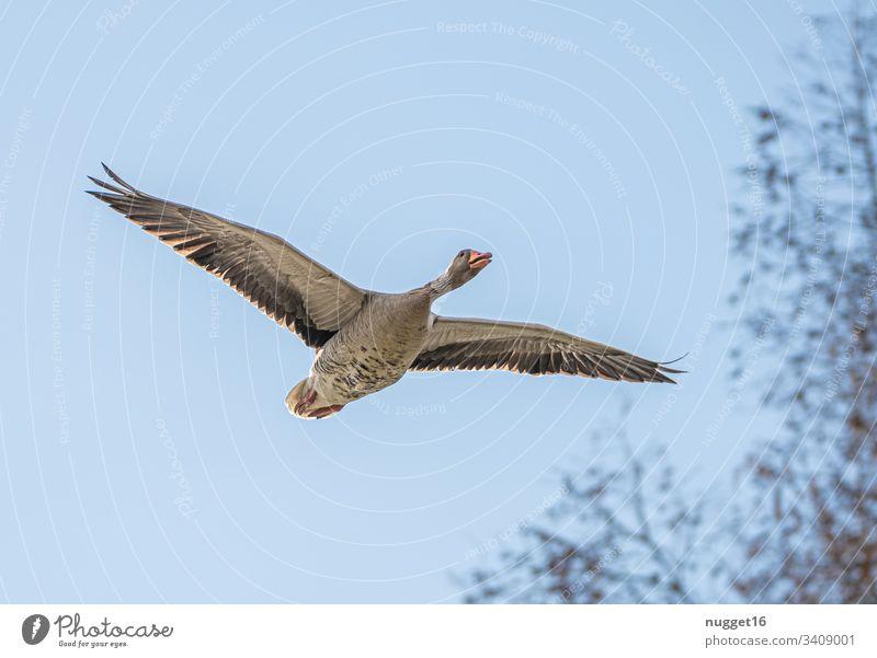 Graugans im Flug graugans vogel im flug Tier fliegen Außenaufnahme Natur Flügel Himmel weiß blau Vogelflug Wildnis Tierwelt Spannweite Gefieder Vogelbeobachtung