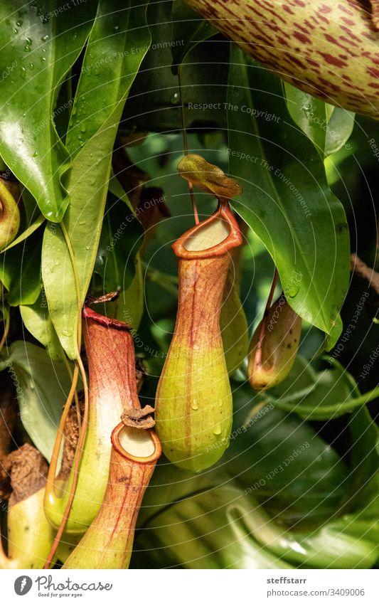 Fleischfressende Kannenpflanze Nepenthes ventricosa Fleischfressende Pflanze Blume Natur fleischfressende Kannenpflanze Garten Jardi Botanic Tropenpflanze