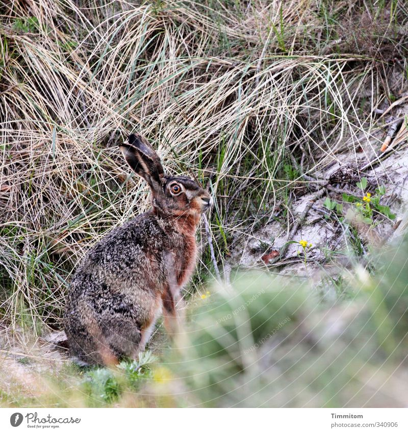 Montagshase, scheu. Umwelt Natur Tier Sand Dünengras Wildtier Hase & Kaninchen 1 Blick warten natürlich achtsam Wachsamkeit Osterhase Farbfoto Außenaufnahme