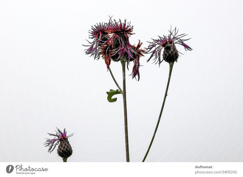 Distel Blume als Freisteller, herbstlich Natur austreiben blühen Frühling Blüte Pflanze Garten Nahaufnahme Wachstum Blühend natürlich frisch Duft schön Umwelt