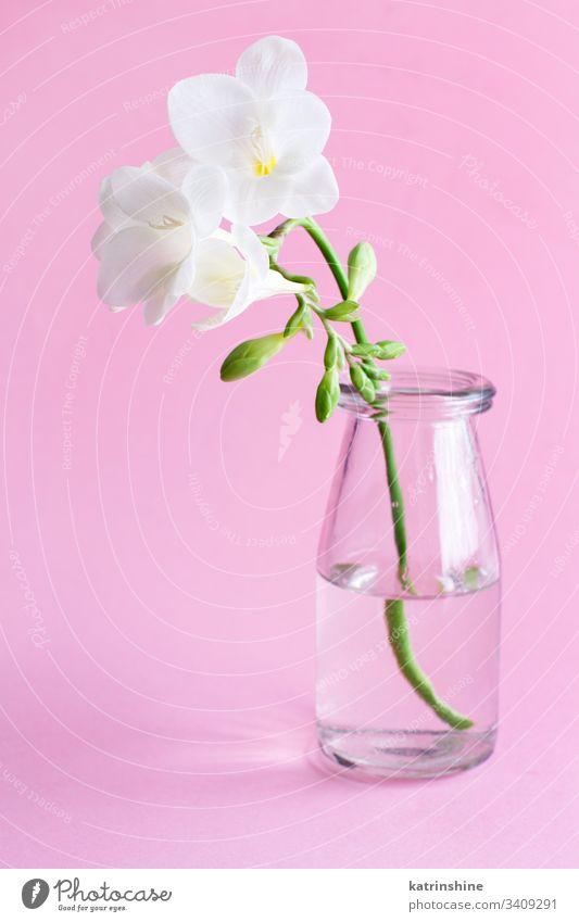 Frühlingskomposition mit einer weißen Freesie-Blume im Glasgefäß Wasser romantisch rosa hellrosa Pastell weiche Farbe abschließen Konzept kreativ Tag Dekor
