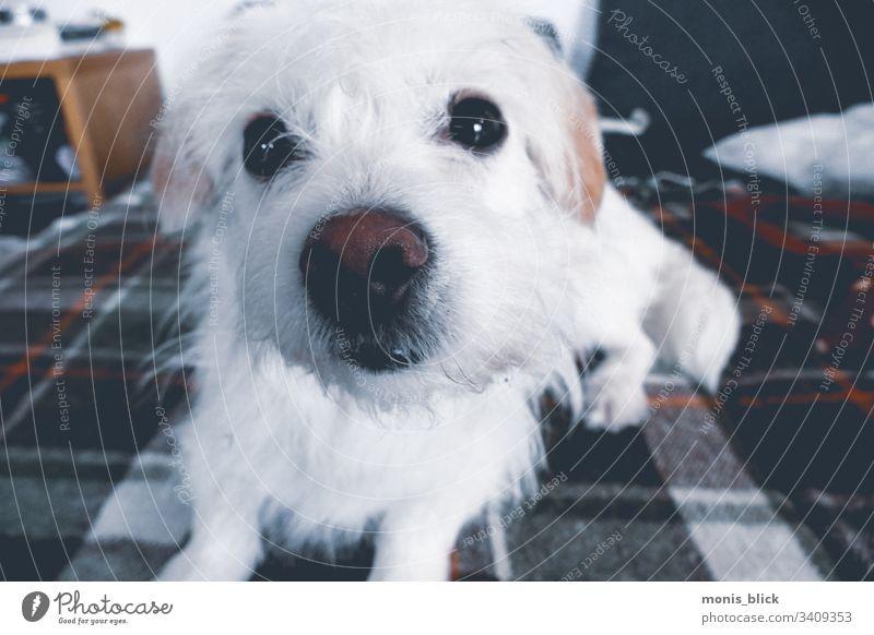 Weißer Hund auf Couch Sofa kleiner Hund Tier Tierporträt Tierliebe Schwache Tiefenschärfe Haustier süßer Hund niedlich Fellnase faul schnüffeln riechen