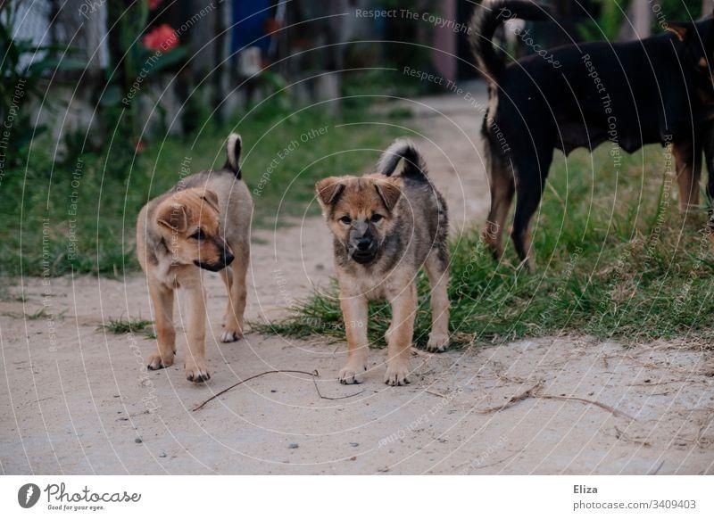 Zwei junge niedliche Hunde draußen auf der Straße Hundewelpen Straßenhunde klein süß Welpe Haustier züchten Außenaufnahme Mischlinge Mischlindshunde Tier