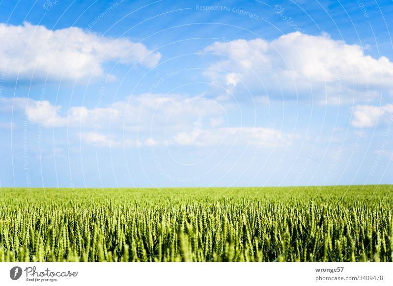 Getreidefeld unter Inselhimmel (Insel Rügen) Sommer Kornfeld Feldrand Außenaufnahme Farbfoto Menschenleer Natur Tag Landschaft Schönes Wetter Blüte Himmel