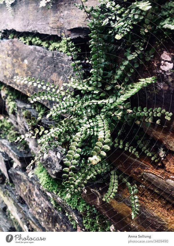 Grüne Pflanze nach dem Regen die aus einer Schiefermauer wächst grün nass Mauer Wassertropfen feucht Reflexion & Spiegelung Nahaufnahme Blatt Licht Grünpflanze