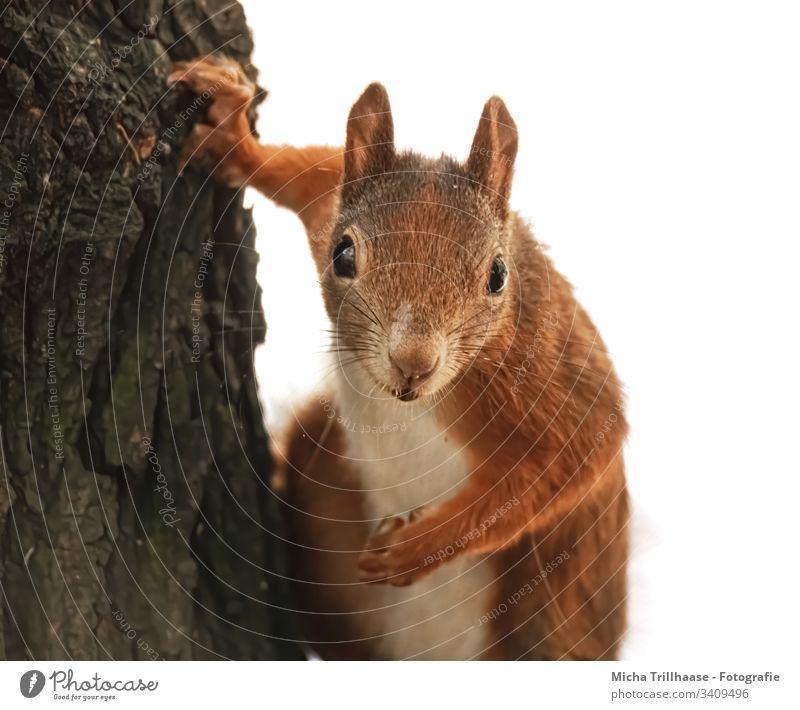 Vom neugierigen Eichhörnchen beobachtet Sciurus vulgaris Tiergesicht Kopf Auge Maul Nase Ohr Fell Pfote Krallen Nagetiere Blick beobachten Natur Wildtier