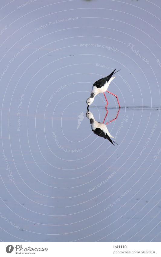Spiegelung Stelzenläufer auf Futtersuche in niedrigem Salzwasser Vogel Mittelmeer Salzgewinnungsanlage Mallorca blaues Wasser rote Beine menschenleer weiß