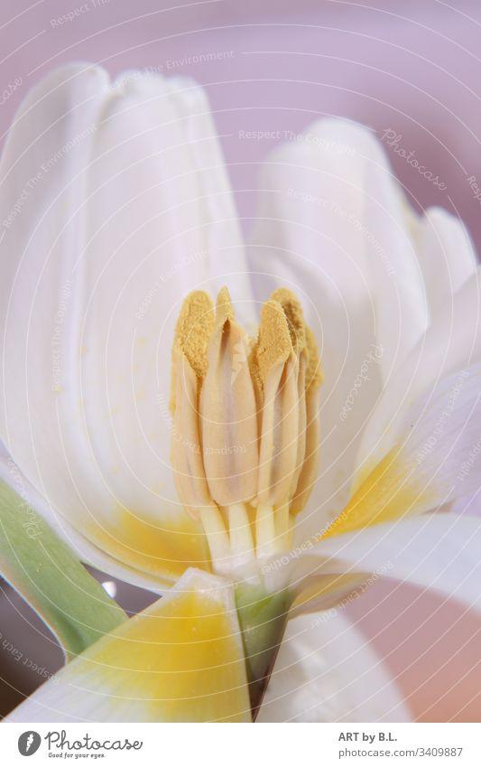 Frühlingsgefühle tulpe inside innen innenansicht samen stempel frühling frühlingsgefühle geöffnet weiß gelb blume aufgeblüht Makroaufnahme Nahaufnahme Blüte