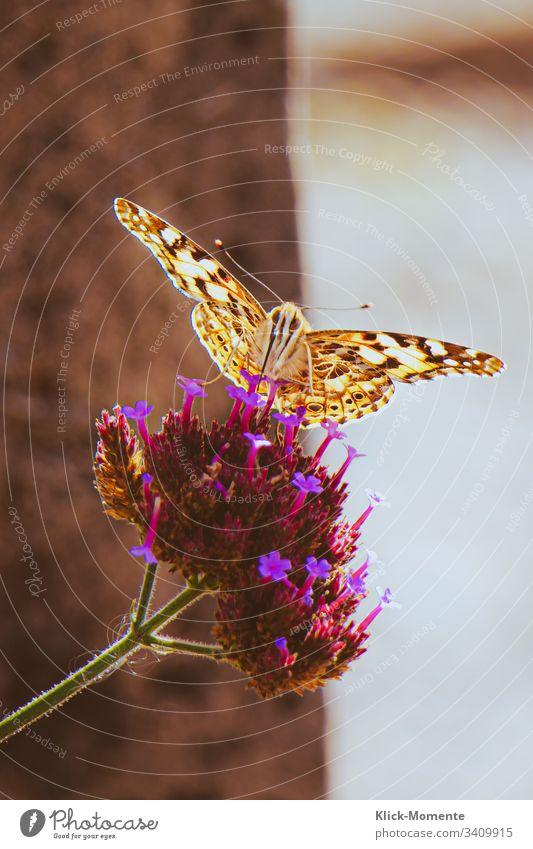 Schau mir in die Augen kleines. #Schmetterling #Natur #Falter #Blume *Schmetterling #Flügel #Raubeundmehr #Insekt #Tier #Fühler #Frühling #wunder Nahaufnahme