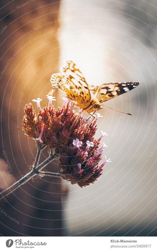 Schmetterling auf Blume, sonnt sich und präsentiert seine wunderbaren Flügel. #Schmetterling #Natur #Falter #Blume *Schmetterling #Flügel #Raubeundmehr