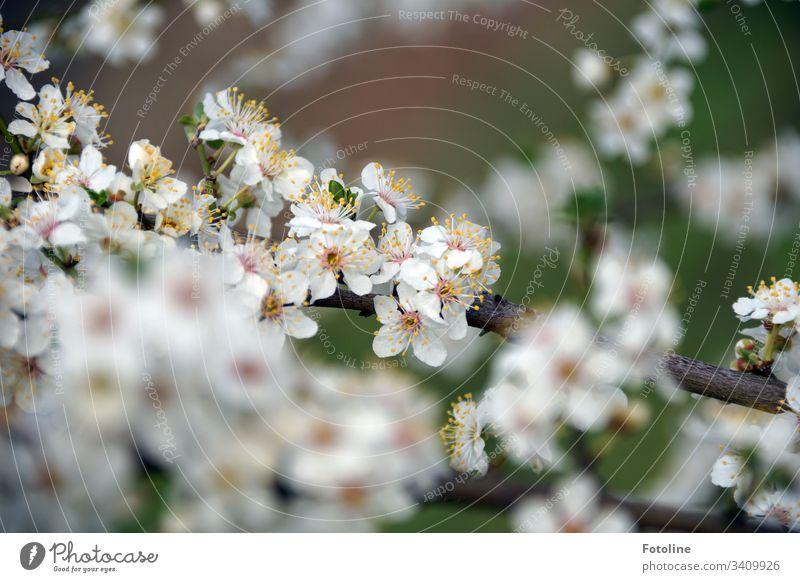 Endlich Frühling! - oder ein Kirschzweig mit vielen kleinen weißen blühenden Blüten im Frühling Kirschblüten Baum Außenaufnahme Farbfoto Natur Blühend Pflanze