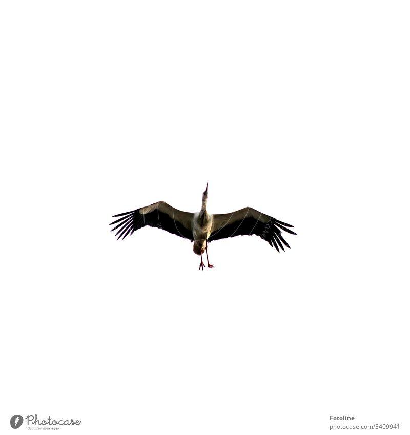 Storch mit einem verkrüppelten Fuß Vogel Tier Außenaufnahme Farbfoto 1 Menschenleer Tag Natur Wildtier Himmel Textfreiraum oben Umwelt Schönes Wetter weiß