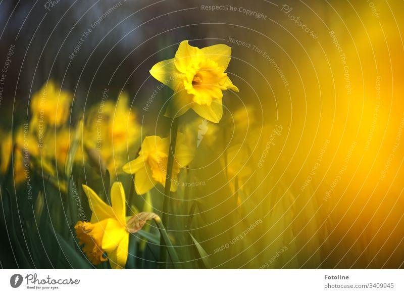 Ein Feld voller blühender Osterglocken im Frühling Blüten Blume Pflanze Natur Farbfoto Außenaufnahme grün Blühend Tag Menschenleer Schwache Tiefenschärfe Umwelt