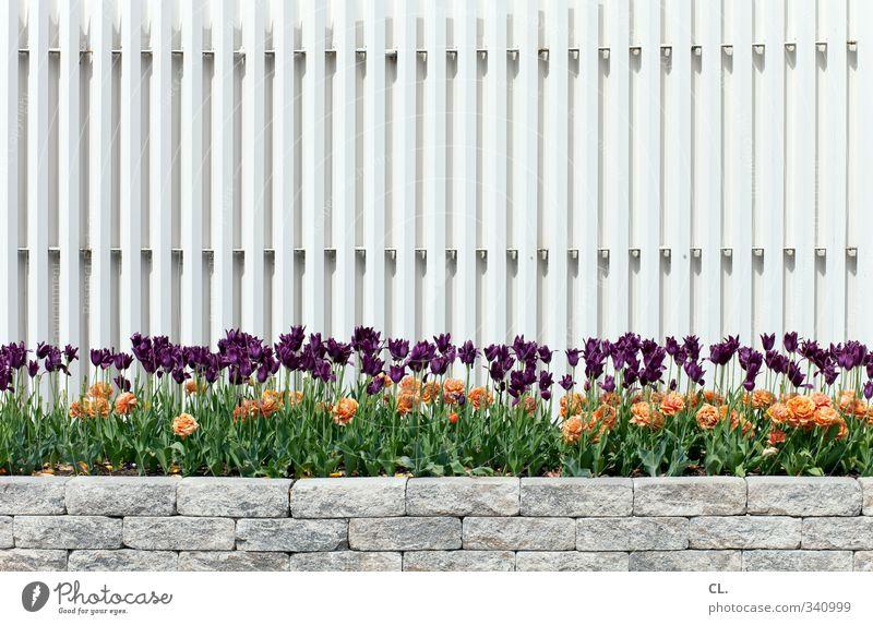 viele tulpen gehen immer Umwelt Natur Pflanze Frühling Blume Tulpe Park Blühend schön Fröhlichkeit Frühlingsgefühle Blumenbeet Zaun Mauer Beet violett orange