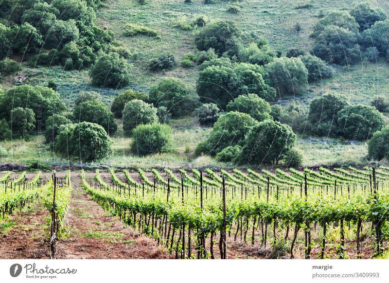 Ein Weinberg, im Hintergrund ein Hügel mit Büschen feldwirtschaft wachstrum Reben Nachhaltigkeit Landwirtschaft Weinreben Bioprodukte Reihen Ordnung Erde