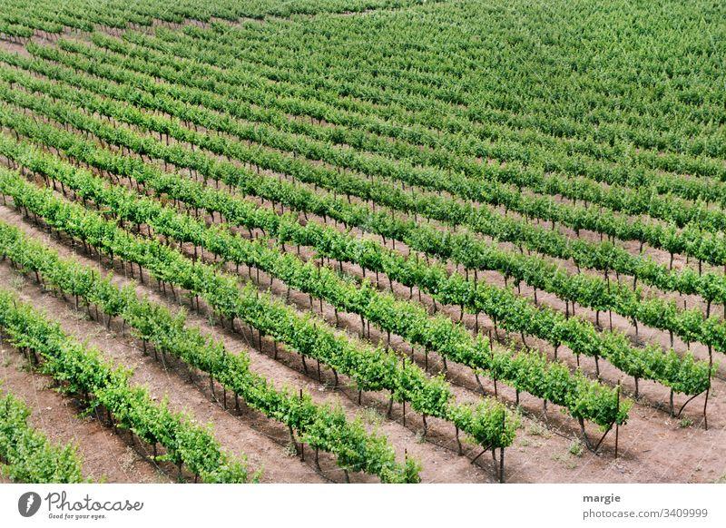 klimawandel |...noch wächst der Wein! Weinberg Weinbau Menschenleer Pflanze grün Sommer Natur Außenaufnahme Weinlese Tag Weingut Farbfoto Landschaft Nutzpflanze