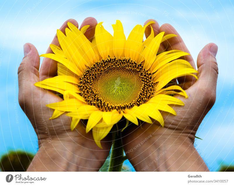 gelb leuchtend blühende Sonnenblume in den Handflächen des Mannes gegen die Ackerbau Hintergrund blüht Blüte Blauer Himmel botanisch hell Pflege vorsichtig