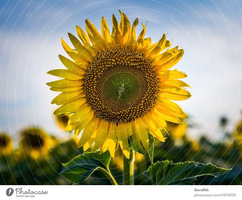 gelbe Sonnenblume mit zwei grünen Blättern auf einem Feld vor einem blauen landwirtschaftlich Ackerbau Hintergrund schön Schönheit Überstrahlung Blüte