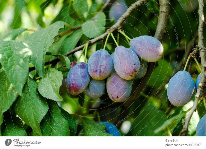 Früchte der blauen Pflaume auf einem Zweig mit grünen Blättern in Nahaufnahme blaue Pflaume Ast Lebensmittel Frucht Garten grüne Blätter saftig natürlich Natur