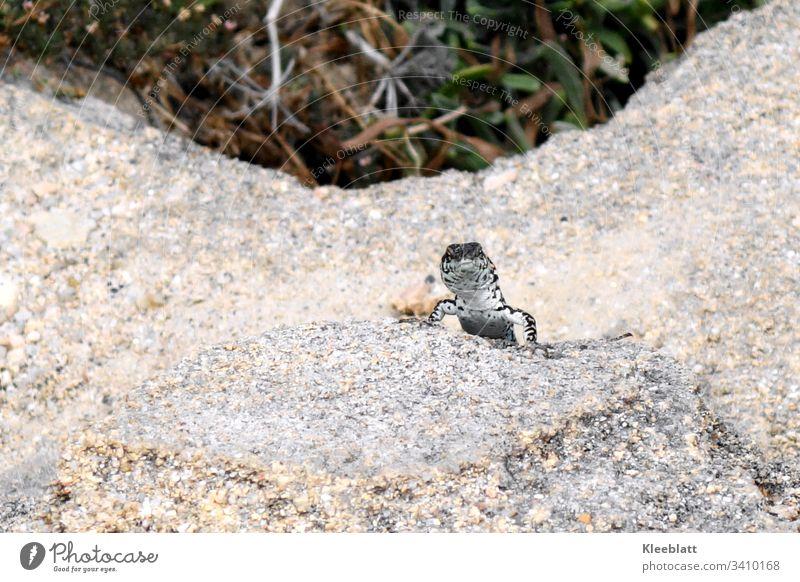 Reptil, Echse neugierig in Felsumgebung Tier Felsen grau grüner Hintergrund Tier weiß und grau Nahaufnahme natürliche Lichtverhältnisse Menschenleer Wildtier