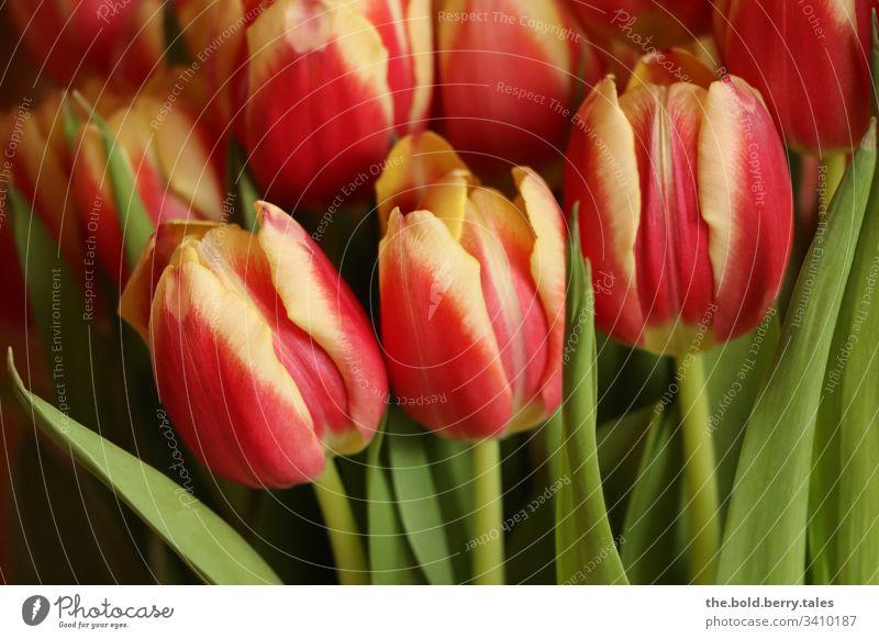 Tulpen rot-gelb Schönes Wetter Nahaufnahme natürlich Natur Wachstum Blühend Lebensfreude Fröhlichkeit frisch Blume Blüte Freundlichkeit Pflanze Frühling schön