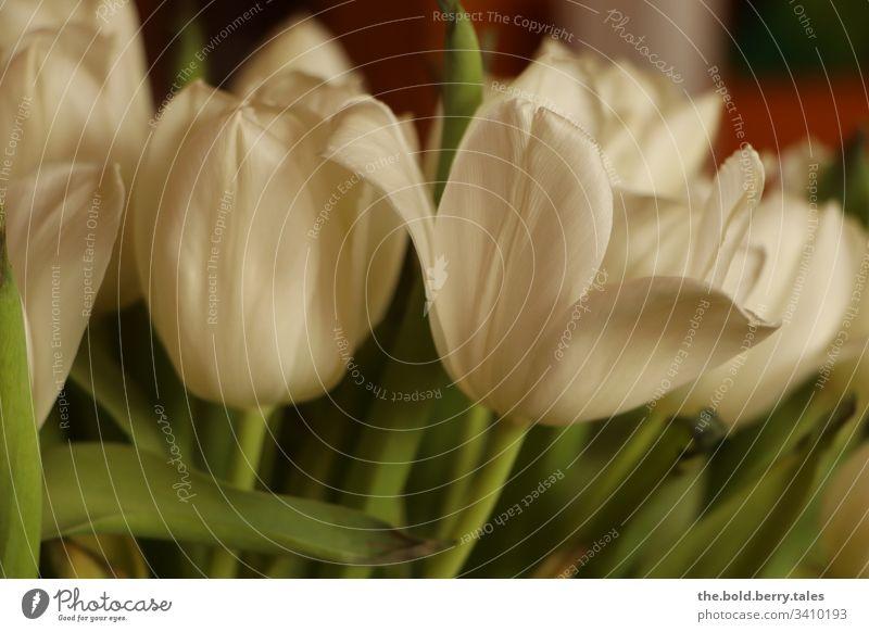 Tulpen weiß Schönes Wetter Nahaufnahme natürlich Natur Wachstum Blühend Lebensfreude Fröhlichkeit frisch Blume Blüte Freundlichkeit Pflanze Frühling schön