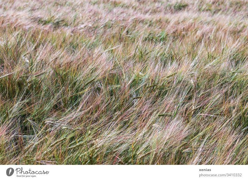 Kornfeld Weizenfeld Landwirtschaft Nahrung Feld Getreide Ähren Nutzpflanze Vegetarische Ernährung Sommer gelb gold Getreidefeld Ackerbau Ernte Agrarprodukt Mono