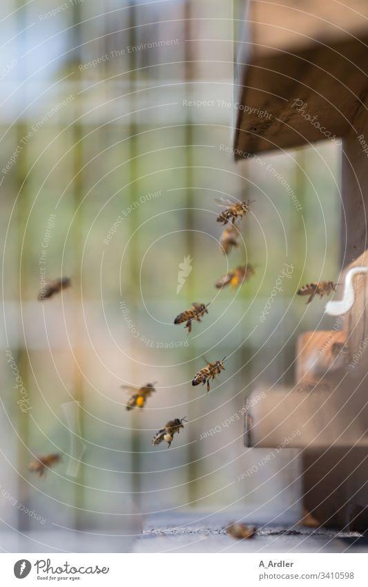 Honigbienen fliegen in den Bienenstock Bienenvolk Flug pollen Natur Pollen Imker Arbeit & Erwerbstätigkeit Insekt Bauernhof Kolonie Mensch Imkerei Lebensmittel