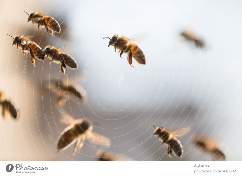 Honigbienen im Flug Bienen Bienenstock Bienenvolk Tier Außenaufnahme Imkerei Natur Lebensmittel Sommer Bienenkorb Arbeit & Erwerbstätigkeit Kolonie Tiere