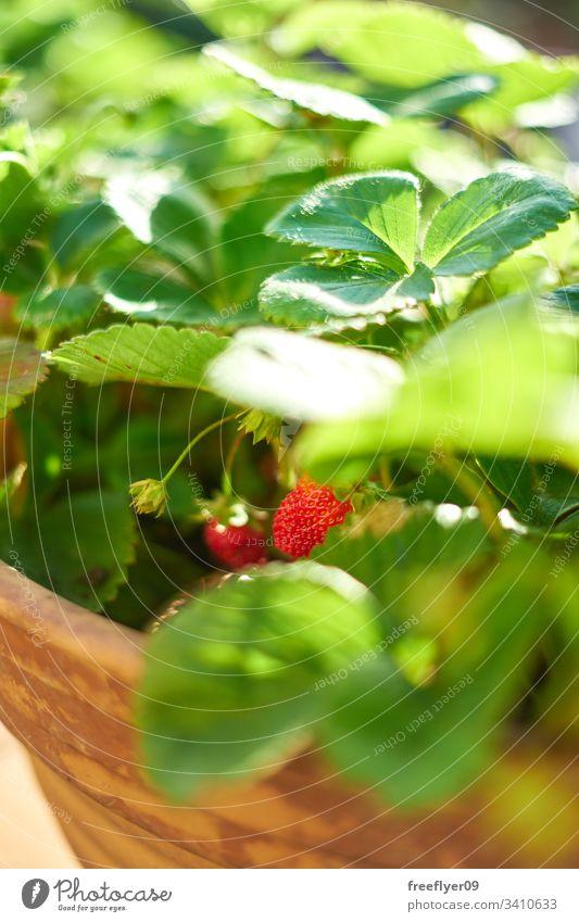 auf einem Blumentopf wachsende Walderdbeeren Frucht Pflanze Erdbeerpflanze Gärtner Eimer Erdbeeren Ernte Beeren Topf Blatt organisch Frische Diät Single