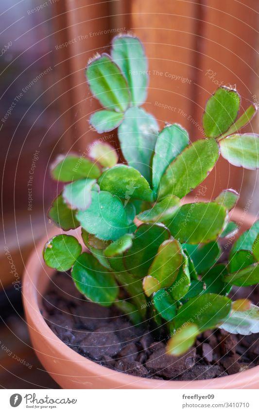 Wüstenpflanze, die auf einem Blumentopf wächst Sukkulente Sempervivum wachsend Topf natürlich Pflanze Kaktus Botanik botanisch Rosette Flora Pute grün Dürre