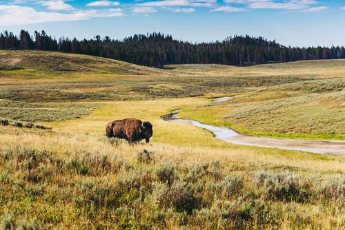 Bison auf einer Wiesenlandschaft mit Fluss und Wald im Hintergrund Entdeckung Sommerurlaub mehrfarbig Perspektive staunen bewundernd entdecken abenteuerlust
