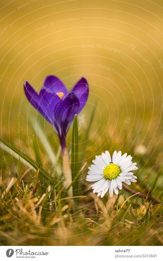 Frühlingsboten, blauer Krokus mit Gänseblümchen Natur Pflanze Blume Blüte Frühblüher krokus Bellis Blühend Farbfoto Außenaufnahme Menschenleer grün Blütenblatt