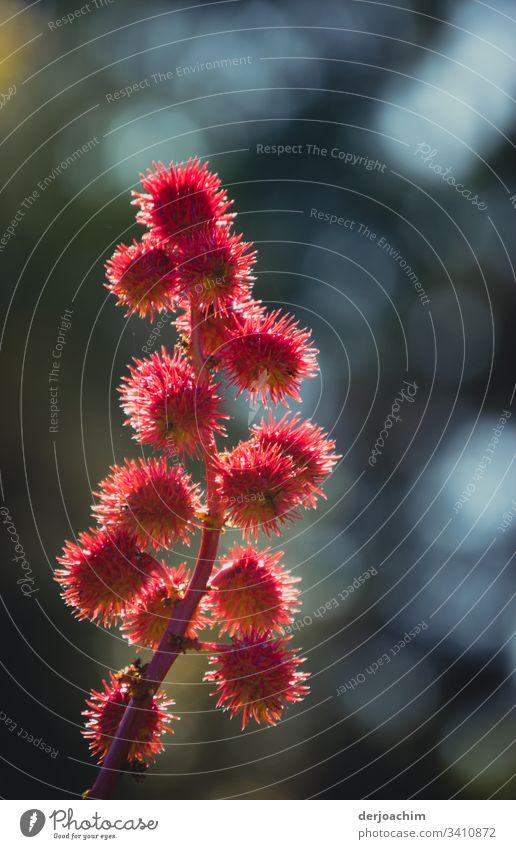 Natur pur /  Herbstblume, zart und fein Blume Blüte Pflanze Nahaufnahme Detailaufnahme Blühend Blütenblatt Menschenleer Blatt Tag Umwelt Farbfoto rosa