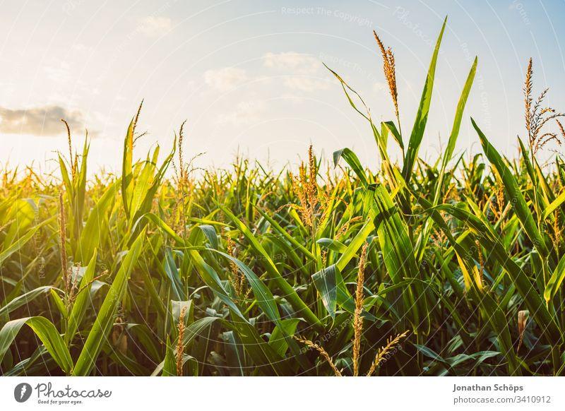 Maisfeld im Spätsommer in der Abendsonne Herbst landwirtschaftlich Ackerbau Rücklicht Gegenlicht Hintergrund Gerste Blauer Himmel Müsli Land Landschaft Ernte