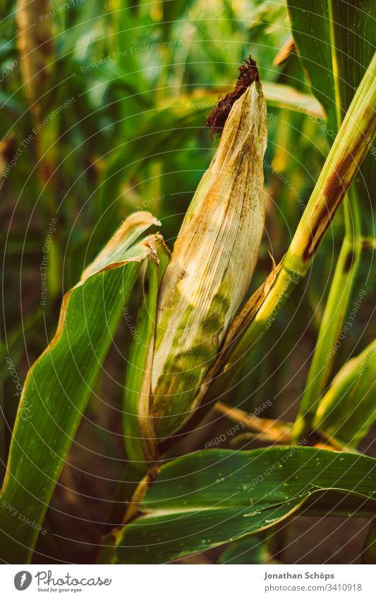 Maisfeld im Spätsommer in der Abendsonne Herbst landwirtschaftlich Ackerbau Hintergrund Gerste Müsli abschließen Maiskolben Land Landschaft Ernte Umwelt