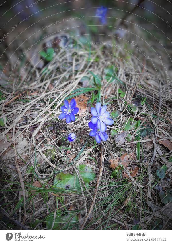 Blümchen am Wegrand Frühlingsgefühle Pflanze Blüte Blume Blühend Natur Östereich Spaziergang blau