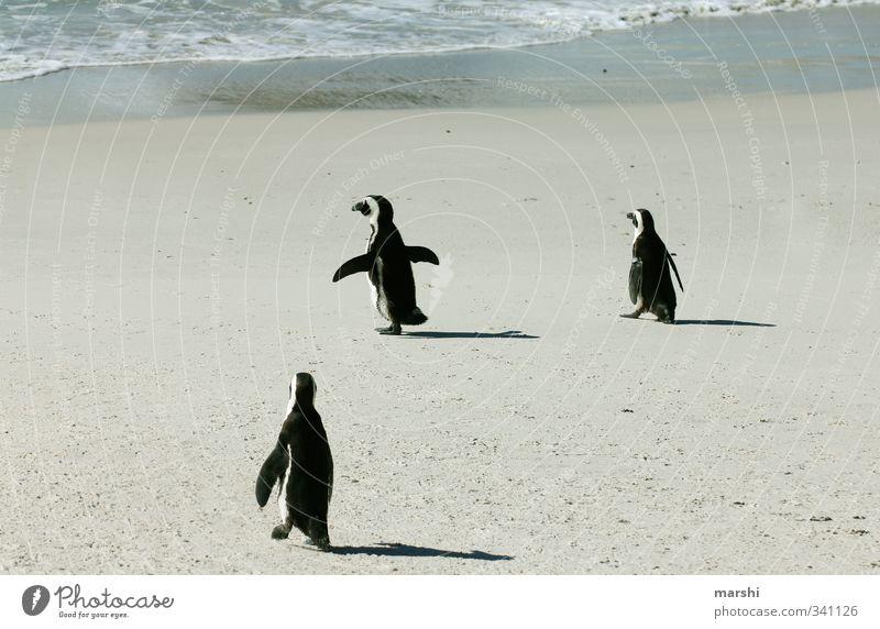 ab ins Kühle... Natur Sonne Wetter Schönes Wetter Küste Meer Tier 3 Tiergruppe Wärme Pinguin Wasser laufen watscheln schön Südafrika exotisch Geschwindigkeit