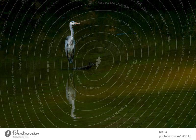 Tarnung: 6 Umwelt Natur Tier Wasser Moor Sumpf Teich See Wildtier Vogel Reiher Graureiher 1 stehen dunkel natürlich ruhig einzeln Farbfoto Außenaufnahme