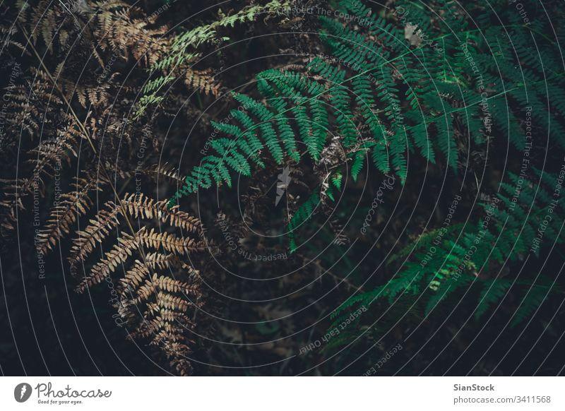 Grüner und trockener Farnbogen im Wald, Herbsthintergrund. Wurmfarn Hintergrund Blatt fallen Natur Saison Adlerfarn grün Pflanze braun Blätter botanisch