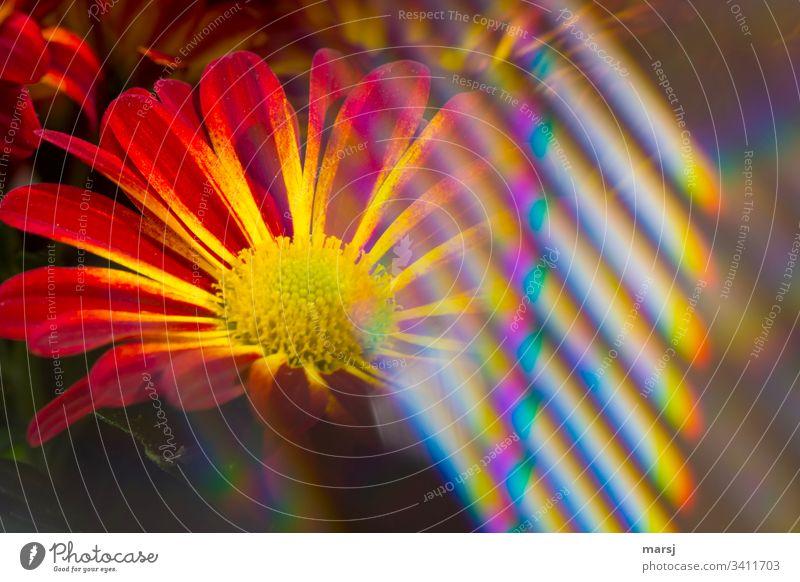 Eine Chrysanthemenblüte teilweise überdeckt von regenbogenfarbenen Lichtreflexen warme Farben Warmes Licht Vorfreude Blühend Blüte Farbfoto verlaufend sonderbar